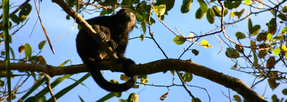 Image of Howler Monkey